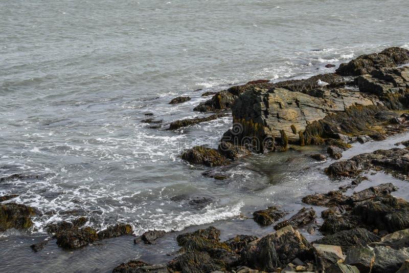 Gabbiano di mare che guarda la spuma sulla costa del Rhode Island immagine stock