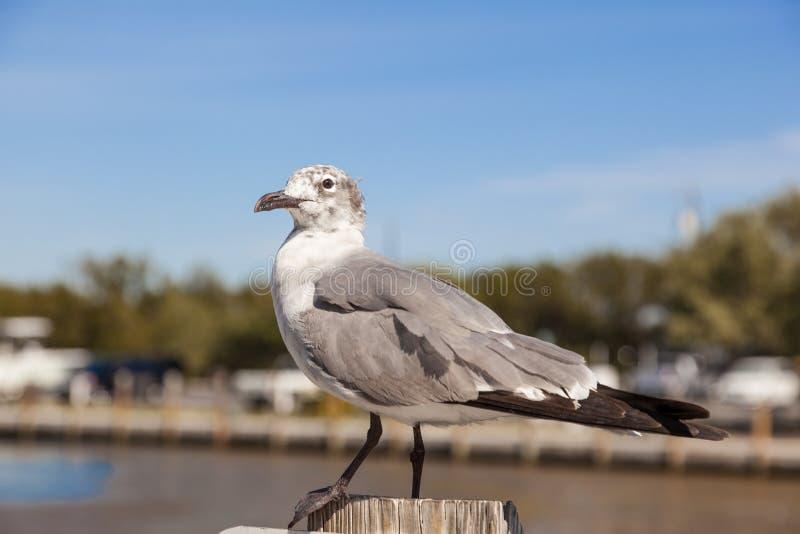 Gabbiano di mare in Florida fotografia stock