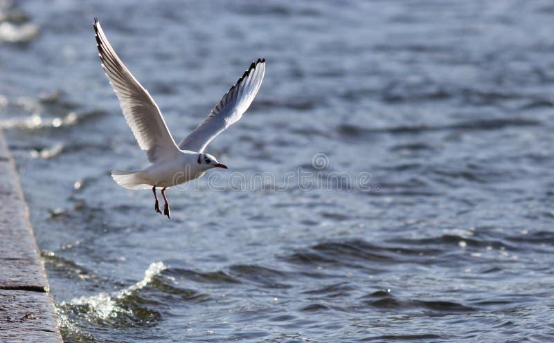 Gabbiano di mare in volo sopra acqua fotografie stock libere da diritti