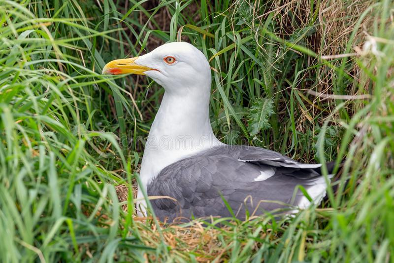 Gabbiano di nidiata all'isola di Inchcolm vicino ad Edimburgo in Scozia immagini stock