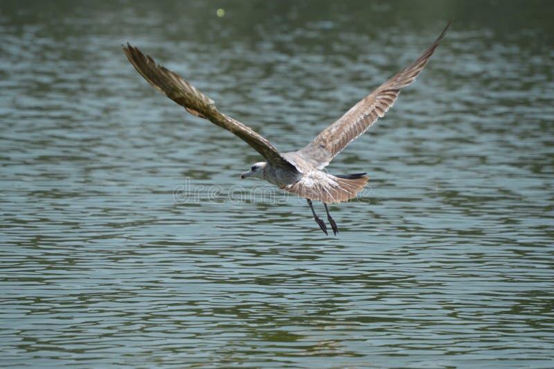 Gabbiano di volo, gabbiano di volo, lago los Angeles, California fotografia stock