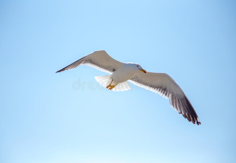 Gabbiano di volo - Mont Saint Michel, Bretagna, Francia fotografie stock