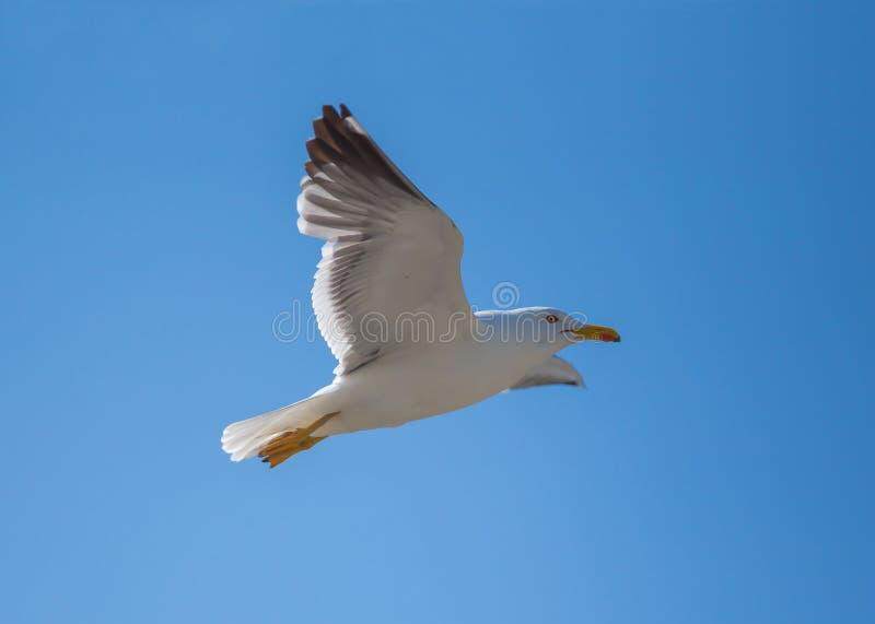 Gabbiano di volo - Mont Saint Michel, Bretagna, Francia immagini stock libere da diritti