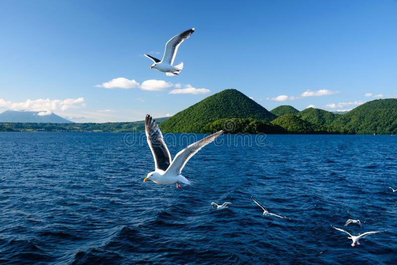 Gabbiano di volo nel lago Toya immagine stock