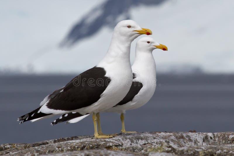Gabbiano domenicano maschio e femminile che sta su una roccia vicino al nesti fotografia stock