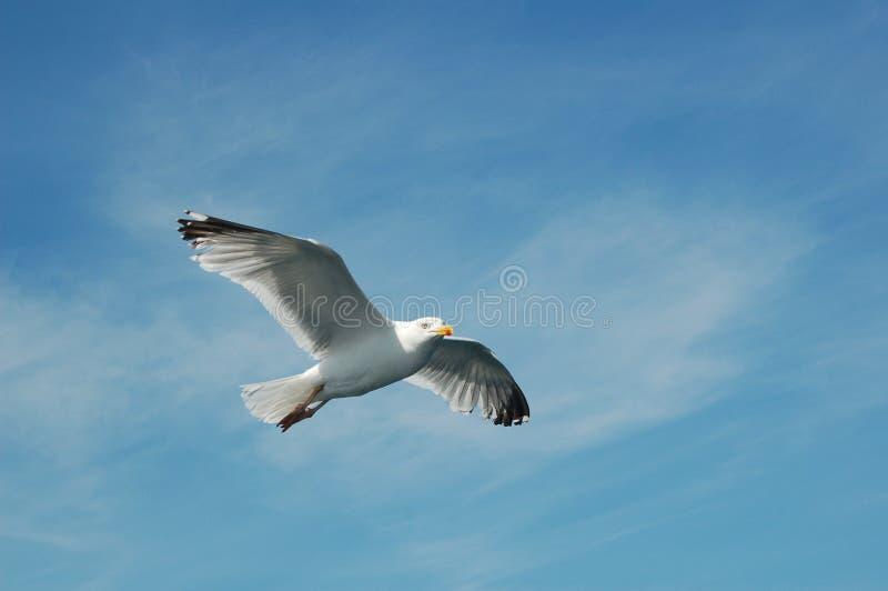 Gabbiano durante il volo fotografia stock libera da diritti