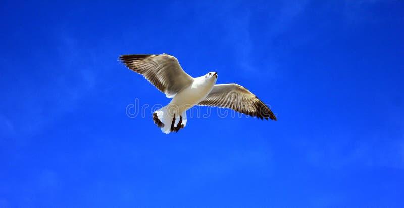 Gabbiano e cielo blu fotografia stock