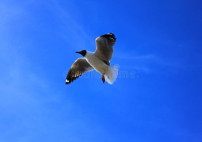 Gabbiano e cielo blu fotografie stock libere da diritti