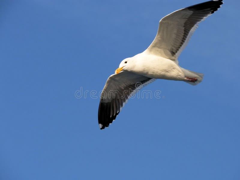 Gabbiano e cielo di mare fotografie stock libere da diritti