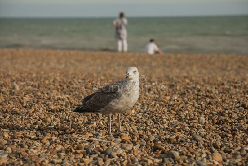 Gabbiano e ciottoli su una spiaggia - Brighton, Londond immagini stock libere da diritti