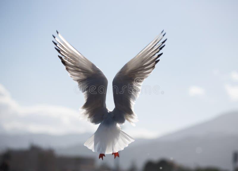 Gabbiano en gaviota del azzurro del cielo del splendido del uno del aperte e de Ali del anuncio del volo en vuelo con las alas ab foto de archivo libre de regalías
