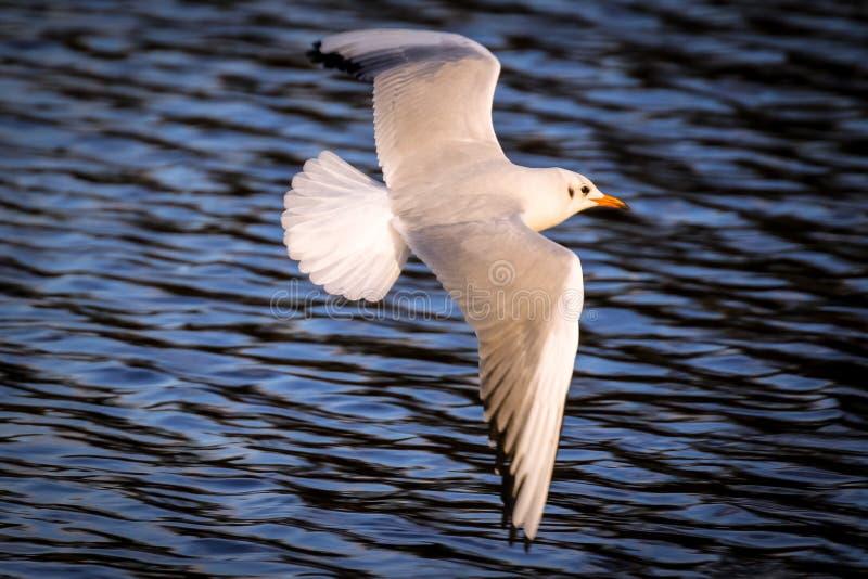 Gabbiano fatturato snello in volo fotografie stock libere da diritti
