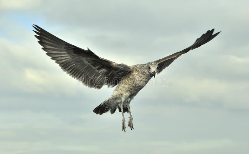 Gabbiano giovanile del fuco (larus dominicanus) in volo fotografia stock