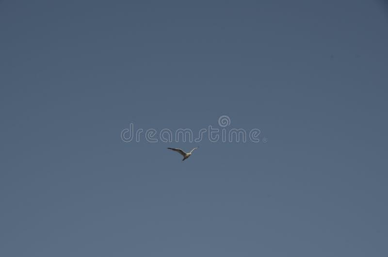 Gabbiano nel cielo immagini stock libere da diritti
