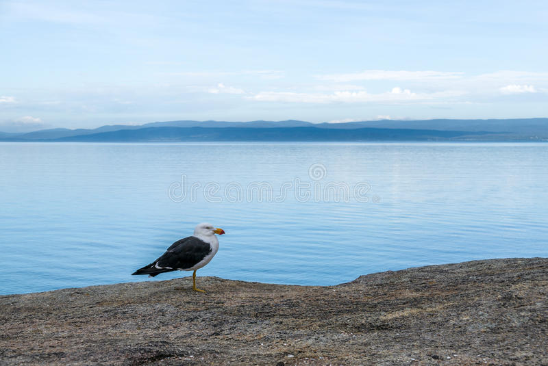 Gabbiano nella baia di luna di miele, Tasmania fotografia stock libera da diritti