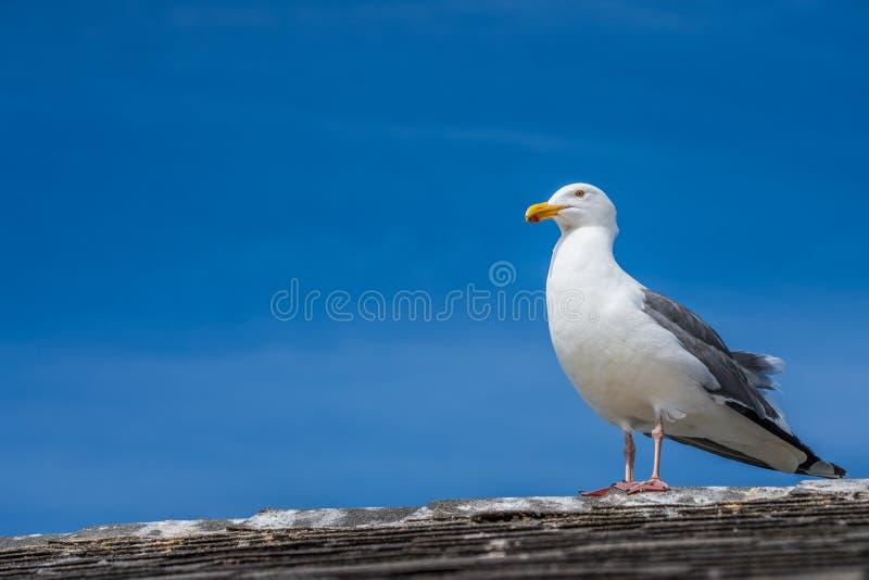Gabbiano nella seduta su un tetto con un fondo del cielo blu e le nuvole esili fotografie stock libere da diritti