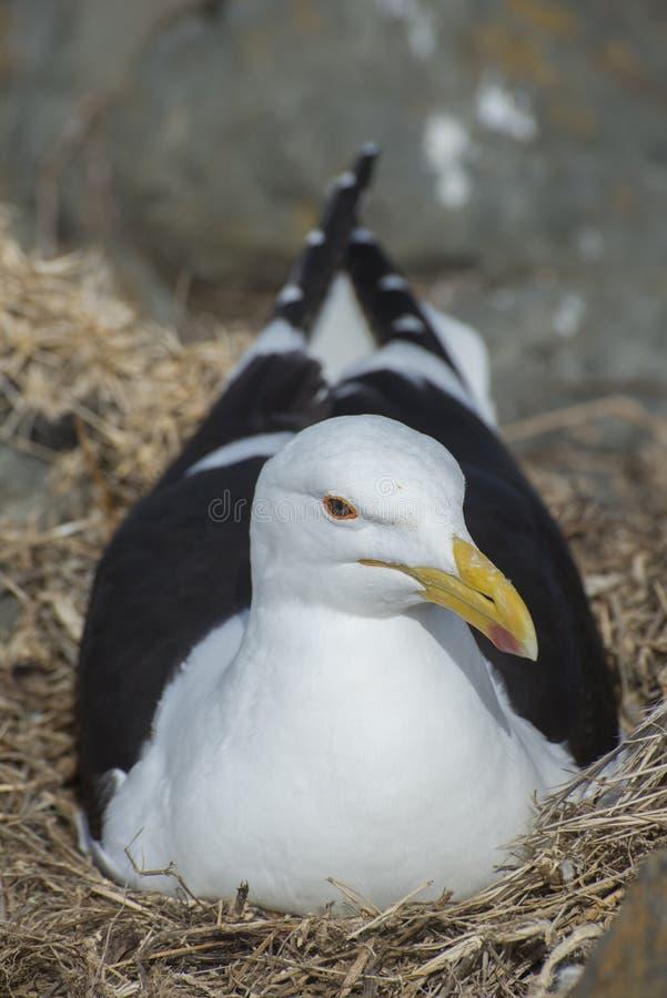 Gabbiano in nido sulle rocce fotografia stock libera da diritti