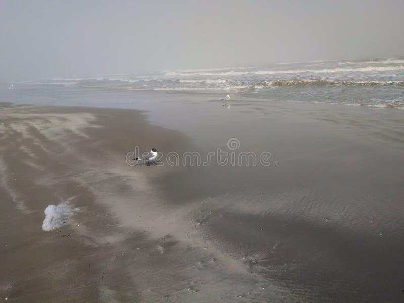 Gabbiano (riva nebbiosa) immagine stock