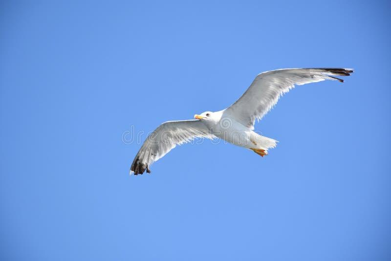 Gabbiano senza una gamba che sorvola cielo blu fotografia stock