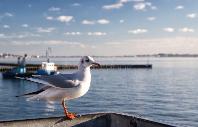 Gabbiano solo in porto di Poole, Regno Unito fotografie stock
