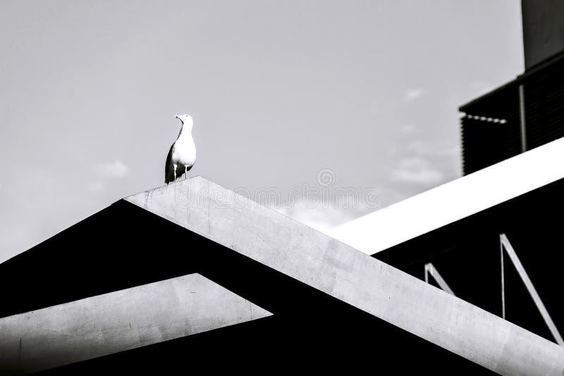 Gabbiano su costruzione, in bianco e nero fotografia stock