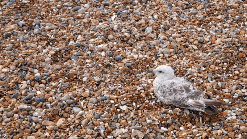 Gabbiano su Pebble Beach immagine stock