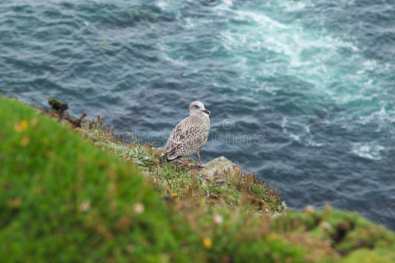 Gabbiano su una costa irlandese rocciosa sulla vecchia testa di Kinsale immagini stock libere da diritti