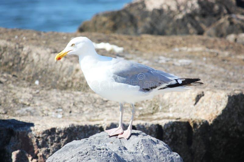 Gabbiano su una roccia alla spiaggia fotografia stock libera da diritti