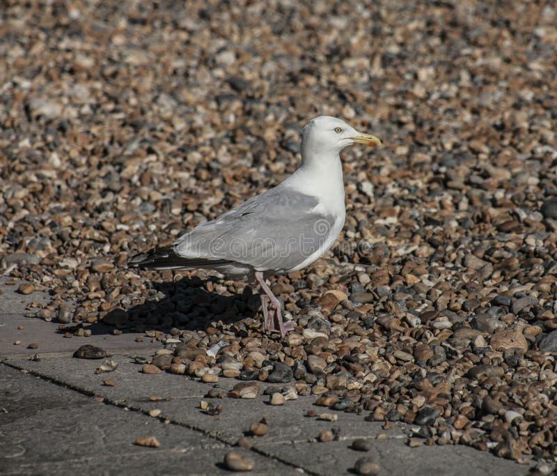 Gabbiano su una spiaggia a Brighton immagini stock