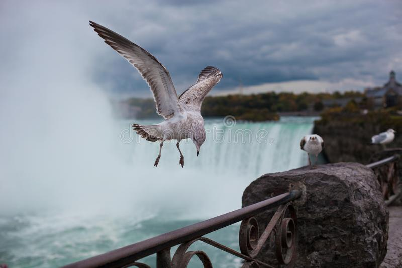 Gabbiano sui precedenti del cascate del Niagara