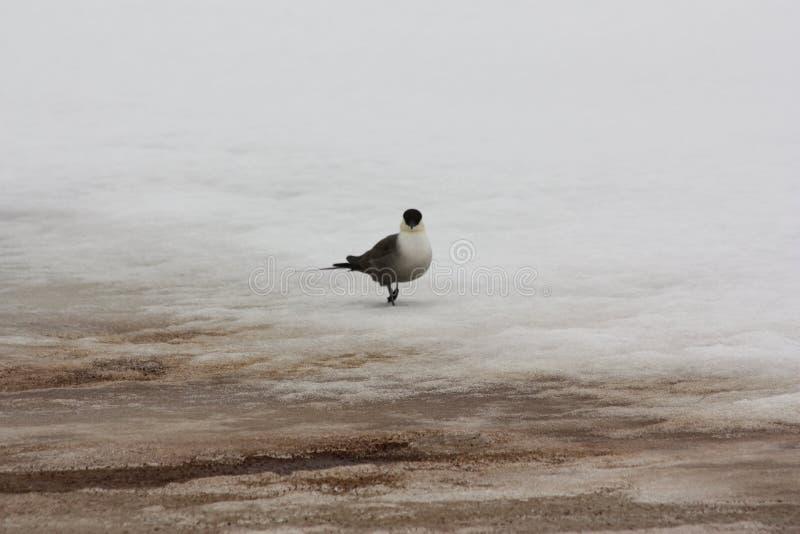 Gabbiano sul ghiaccio della molla fotografia stock libera da diritti