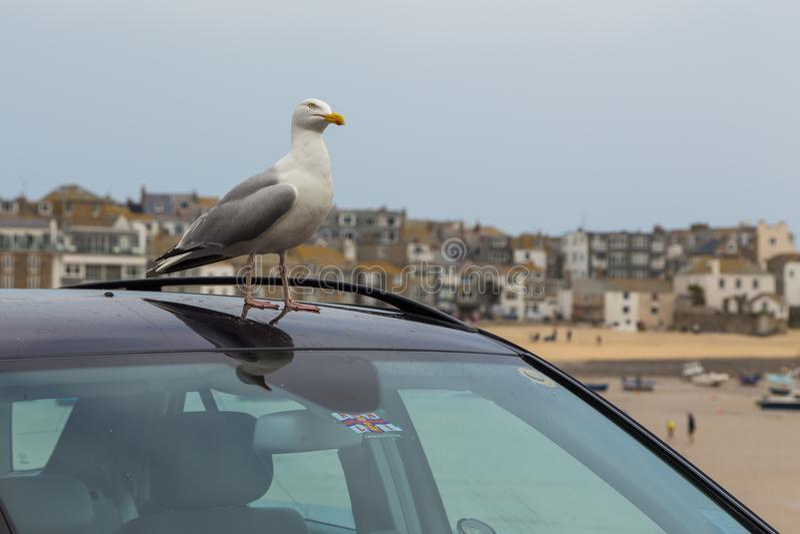 Gabbiano sul tetto dell'automobile fotografie stock