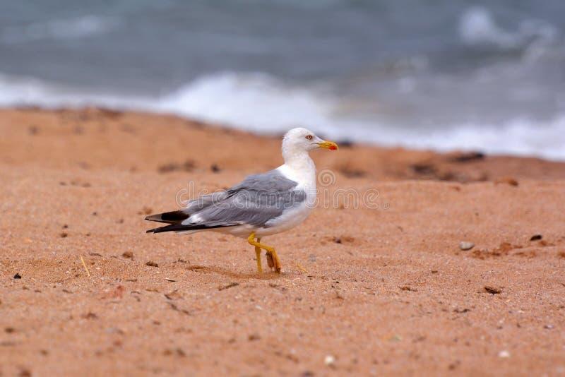 Gabbiano sulla sabbia vicino al mare fotografia stock