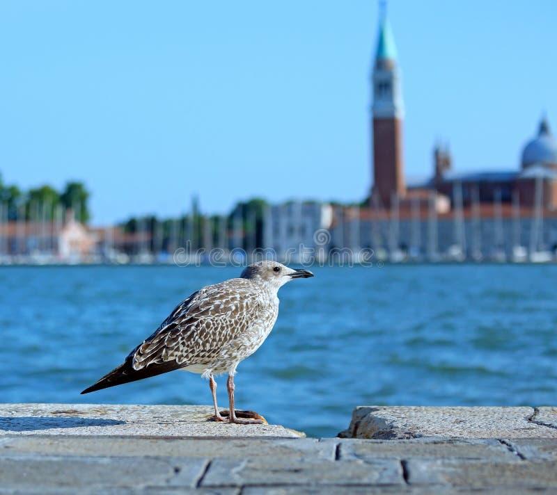 gabbiano a Venezia in Italia fotografie stock