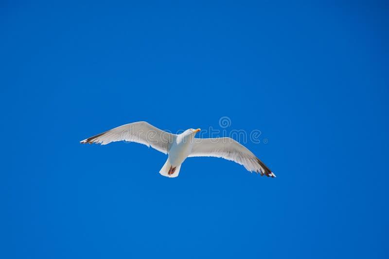 Gabbiano volante bianco contro il cielo senza nuvole blu immagine stock libera da diritti