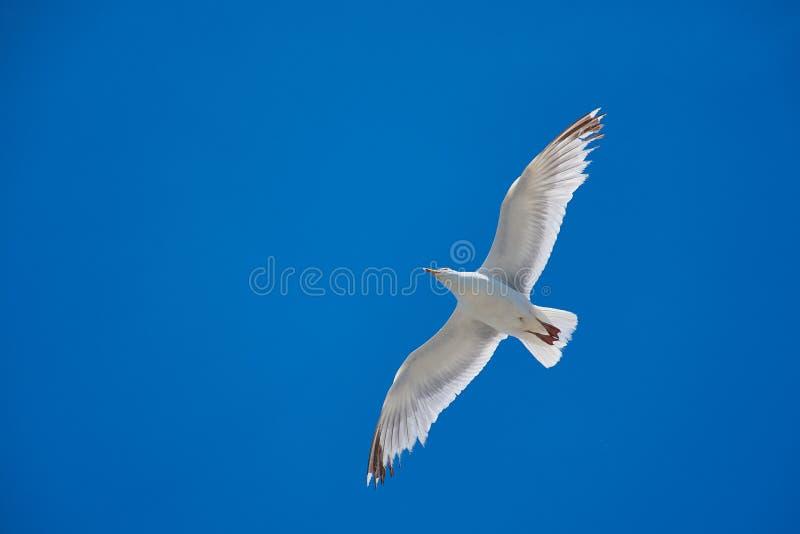 Gabbiano volante bianco contro il cielo senza nuvole blu profondo fotografia stock libera da diritti
