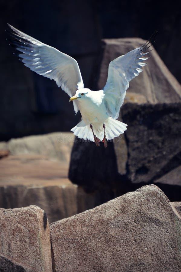 Gabbiano in volo fotografia stock libera da diritti