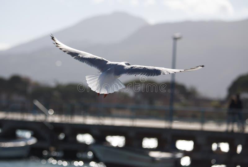Gabbiano in volo Anzeigenali-aperte Seemöwe im Flug mit offenen Flügeln stockbild