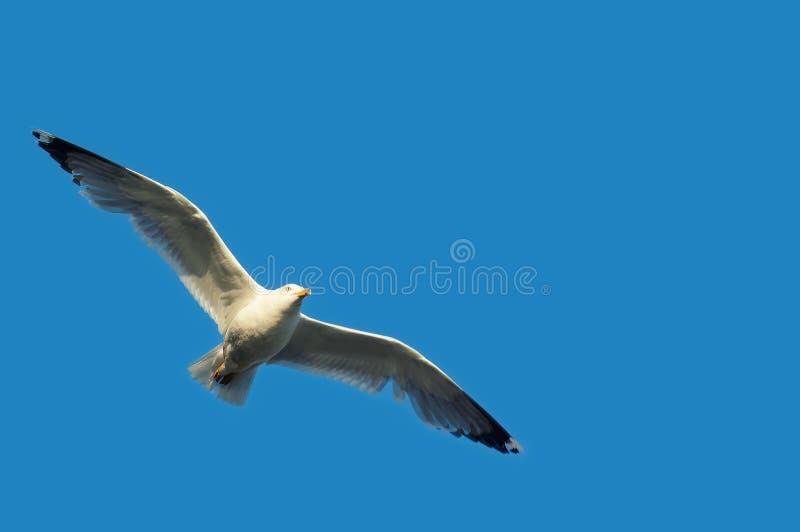 Gabbiano in volo con le ali spante su chiaro cielo blu immagini stock