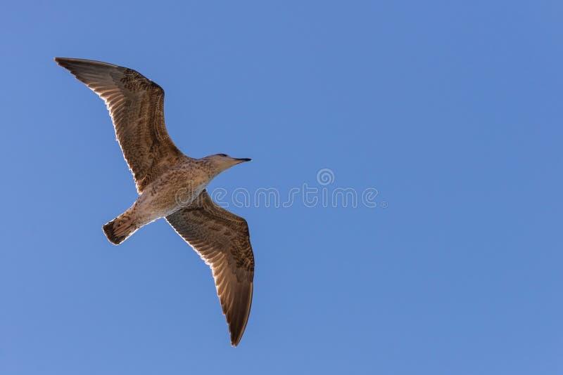 Gabbiano in volo in natura fotografie stock