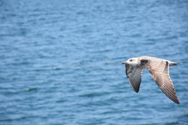 Gabbiano in volo sopra l'oceano fotografia stock