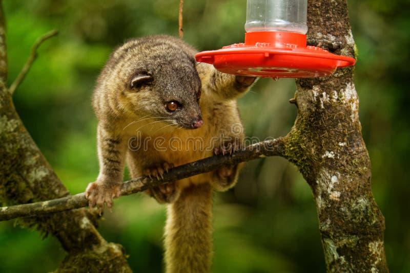 gabbii Espesso-atado de Olingo - de Bassaricyon igualmente conhecido como o olingo do norte que bebe do alimentador do colibri foto de stock