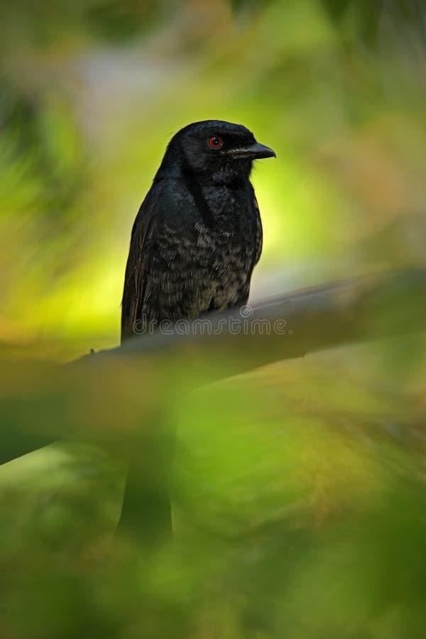 Gabel-angebundener Drongo, Dicrurus-adsimilis, Detail des exotischen grauen Schwarzafrikanervogels mit rotem Auge, versteckt in d stockbilder