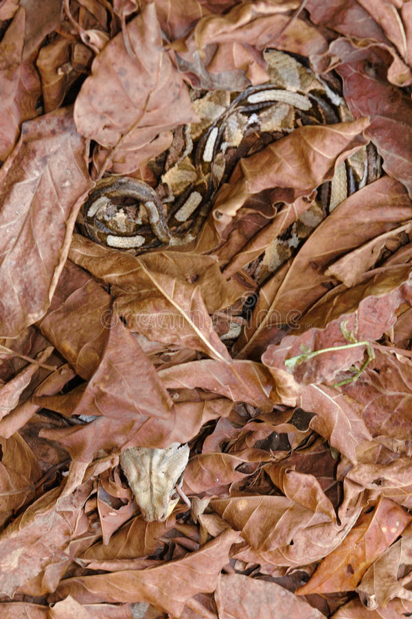 Download Gaboon viper snake stock image. Image of deadly, stealth - 11374029