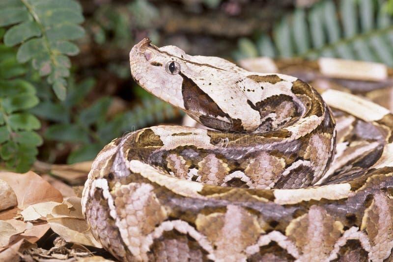 gaboon viper węża obrazy stock