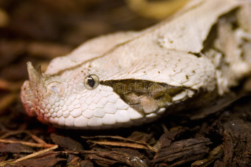 Gabun-Viper, Bitis Gabonica lizenzfreie stockfotografie