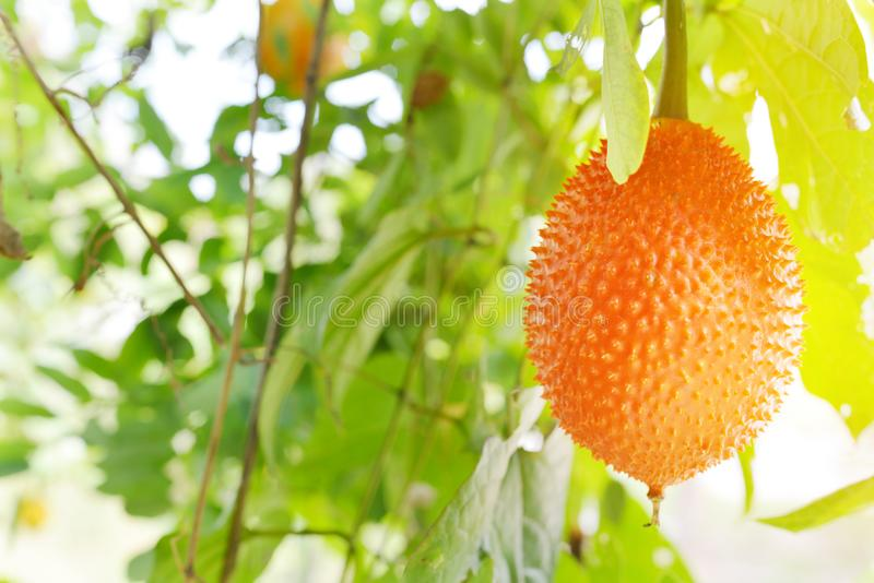 Gac-Frucht ist auf dem Baum reif lizenzfreie stockbilder