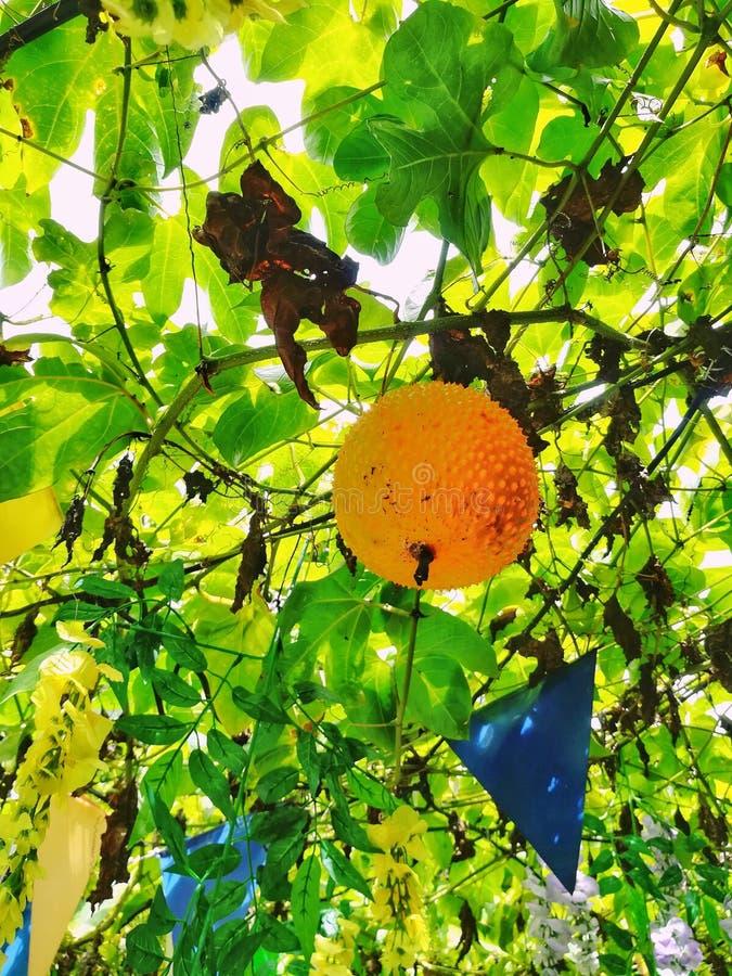 Gac frukt fotografering för bildbyråer