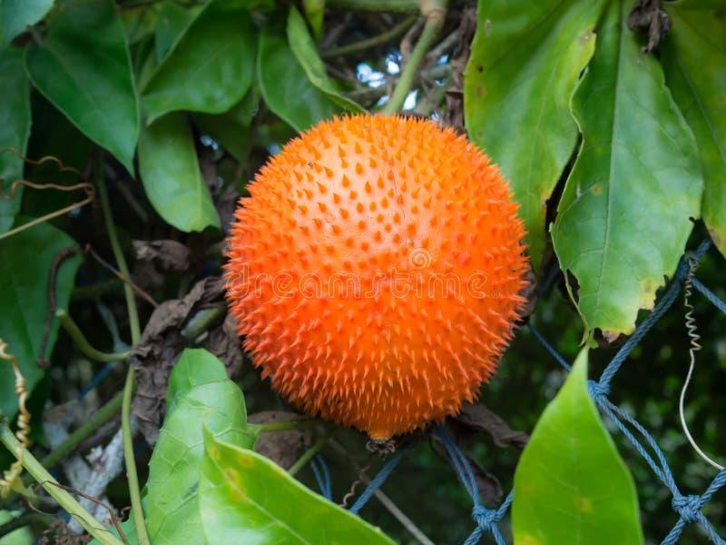 Gac frukt eller behandla som ett barn jackfruiten Tropisk South East Asia frukt Rikt av näringsämnevitaminer och ålder-trotsa ant royaltyfri fotografi