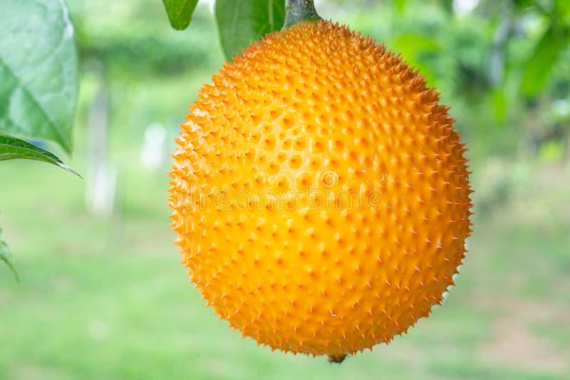 Gac frukt på träd, behandla som ett barn jackfruiten, den Cochinchin kalebassen, den taggiga bittra kalebassen, söt kalebass royaltyfri bild